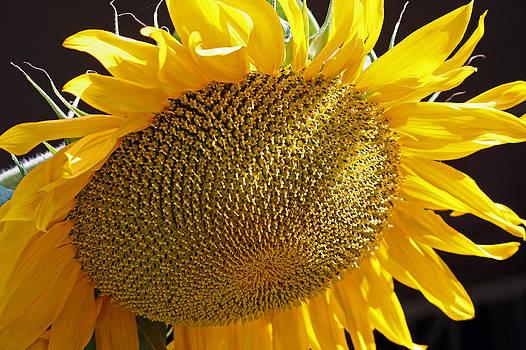 Sun Flower by Frank Morales Jr