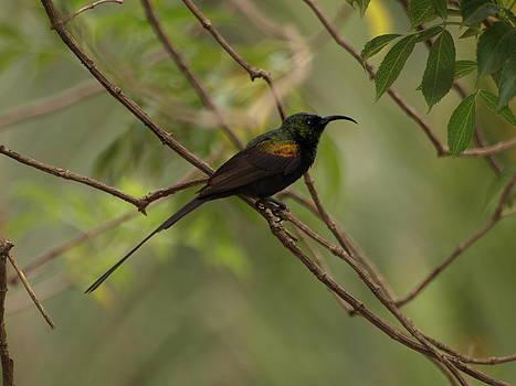 Sunbird by Carol Evans