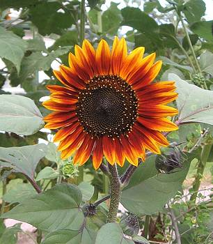 Sunflower 1 by J W Kelly