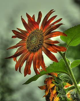 Rod Wiens - Sunflower 3
