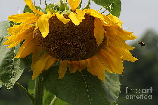 Sunflower And Bee by Ralph Hecht