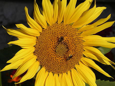 Sunflower and Friends by Monica Cranswick