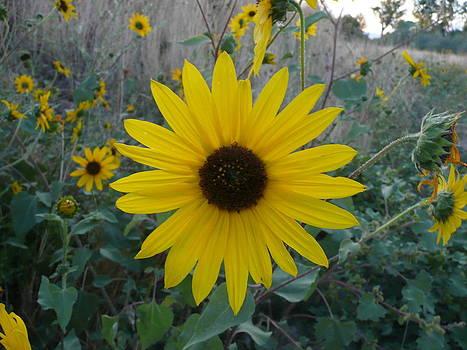 Angela Hansen - sunflower