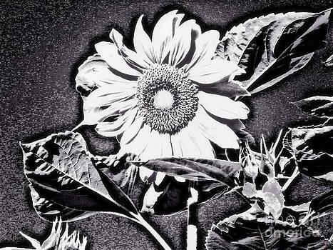 Pauli Hyvonen - Sunflower at night