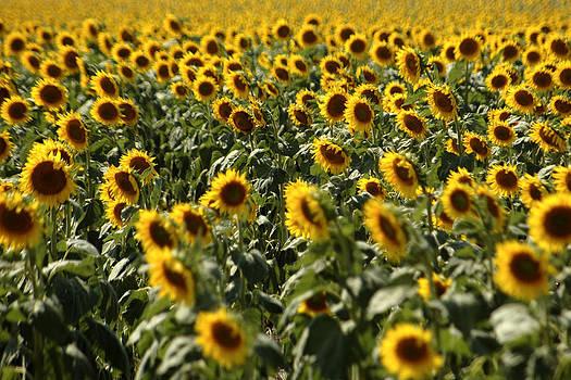 Sunflower Bliss by Jonathan Schreiber