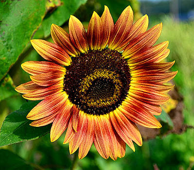 Sunflower by Brian Hughes