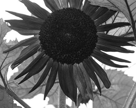 SunFlower by Carol Phipps