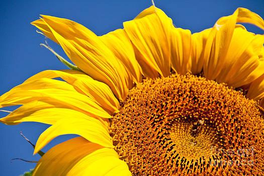 Sunflower by Dana Kern