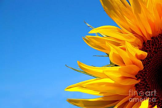 Sunflower by Dmitry Epov