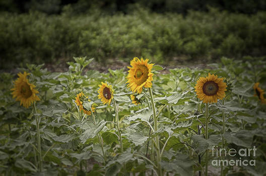 Sunflower Driveby by Vicki DeVico