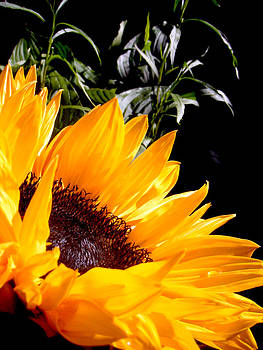 Jon Baldwin  Art - Sunflower from the Right