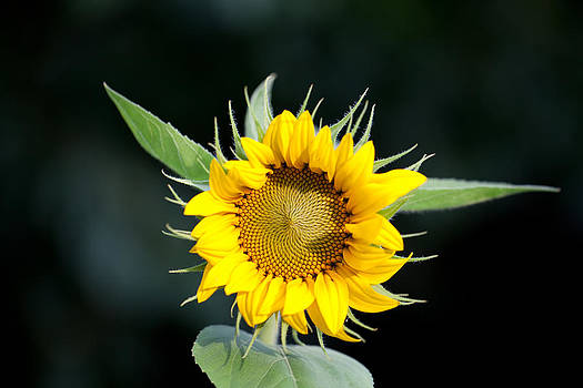 Sunflower by Holger Graebner