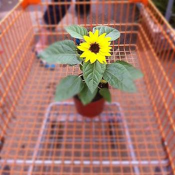 Sunflower In A Shopping Cart by Steve Garfield