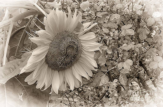 Sunflower in Sepia by Vicki DeVico