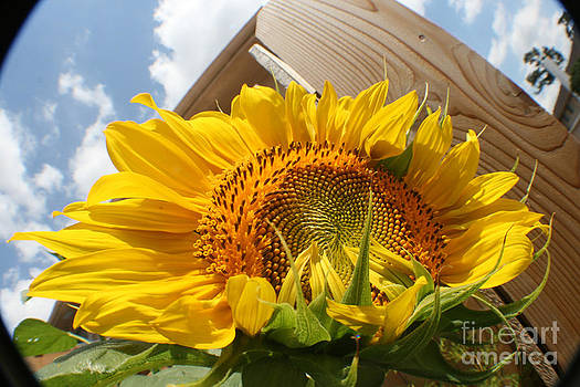 Sunflower In The Breeze by David Houston