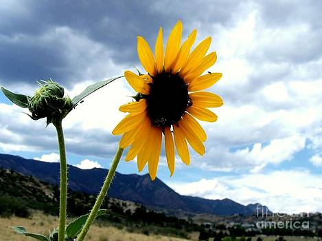 Sunflower in the Rockies with Friends by Donna Parlow