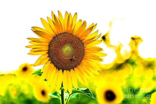 Sunflower in the Sunlight by Mark East