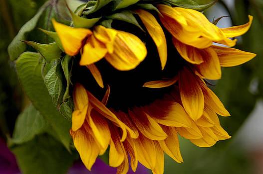 Sunflower by Jonathan Schreiber