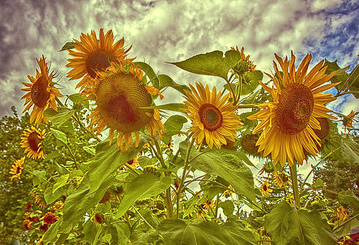 Sunflower Landscape by Beverly Hanson