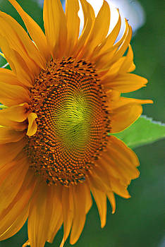 Michelle Cruz - Sunflower Macro
