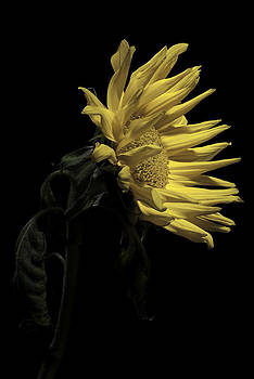 Sunflower by Nathaniel Kolby