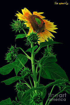 Sunflower No2. by Itai Minovitz