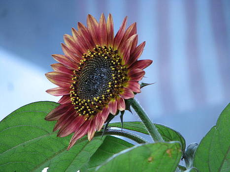 Sunflower Of A Different Color by Victoria Sheldon