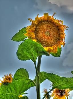 Sunflower One by Alfredo Rodriguez