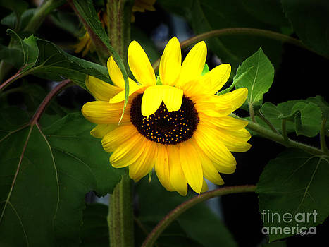 Ms Judi - Sunflower One