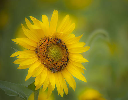 Sunflower by Rick Hartigan
