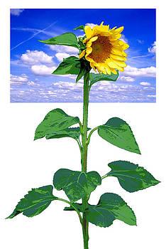 Sunflower by Robert Hudnall