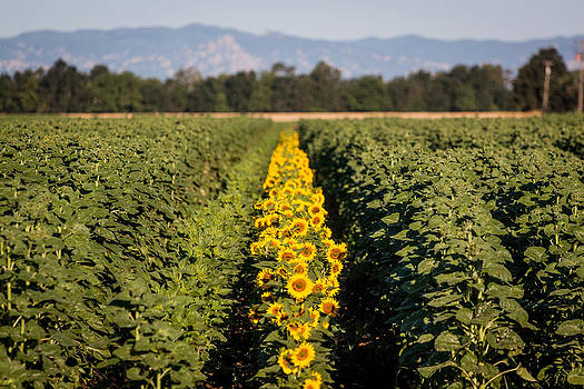 Chris Fullmer - Sunflower Row 1