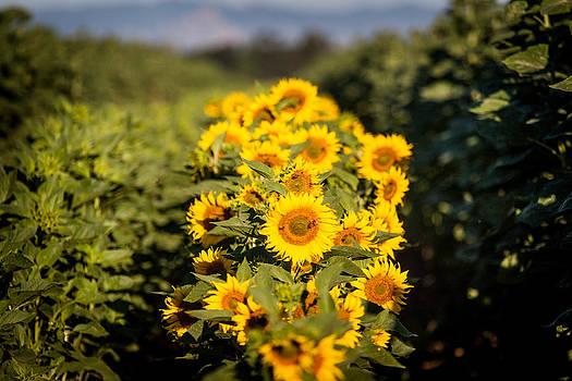 Chris Fullmer - Sunflower Row 2