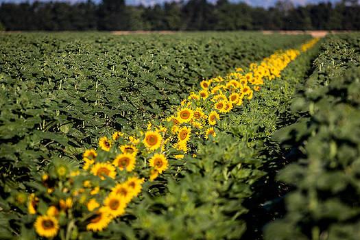 Chris Fullmer - Sunflower Row 3