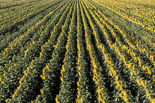 Chris Fullmer - Sunflower Rows