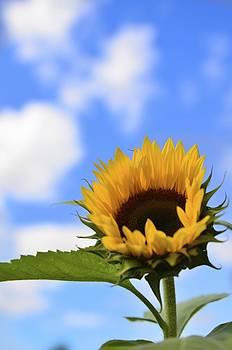 Sunflower by Ryan Louis Maccione
