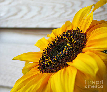 Sunflower by Slavi Begov
