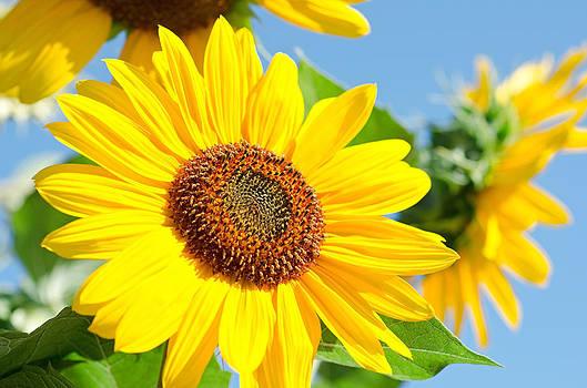 Margaret Pitcher - Sunflower Study III