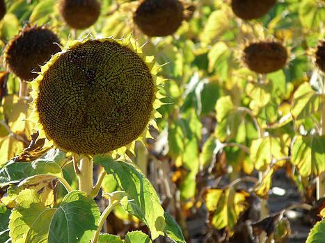 Terry Eve Tanner - Sunflower
