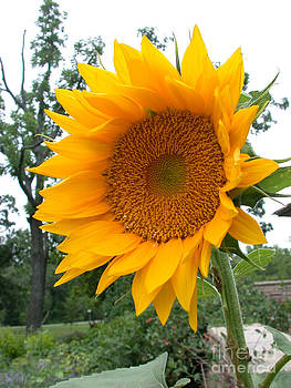 Tim Mulina - Sunflower