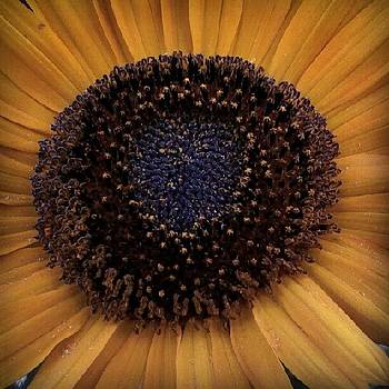 Sunflower by Tina Marie