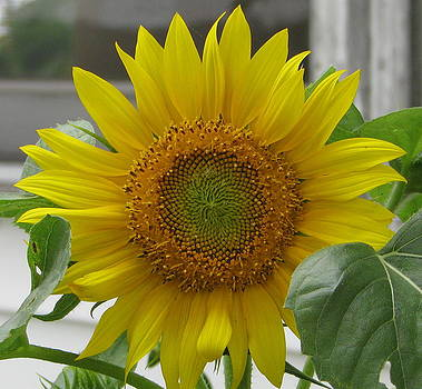 Sunflower by Victoria Sheldon