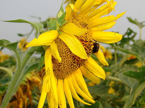 Sunflower Visitor by Cynthia Templin