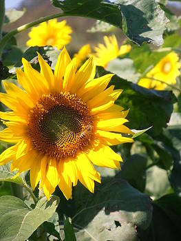 Kimberly Perry - Sunflower Visitor