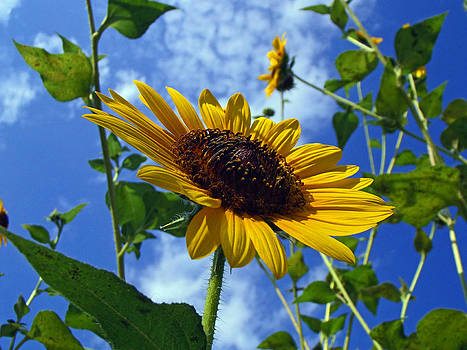 Sunflowers and Blue Skies Above Us by Mamie Thornbrue