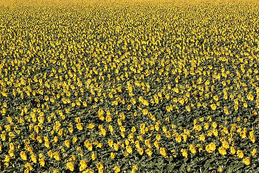 Chris Fullmer - Sunflowers at Dawn