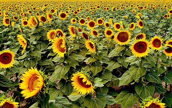 Sunflowers by Christopher Brown