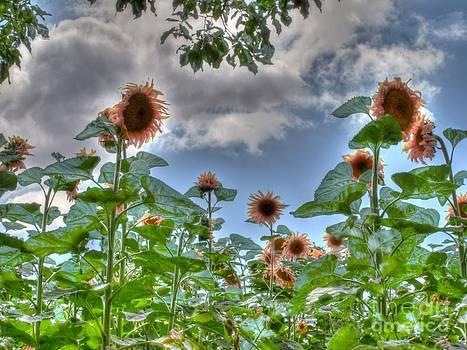 Sunflower's Field by Alfredo Rodriguez