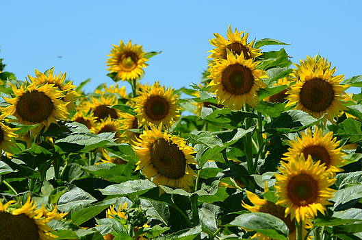 Sunflowers  by Melissa  Maderos