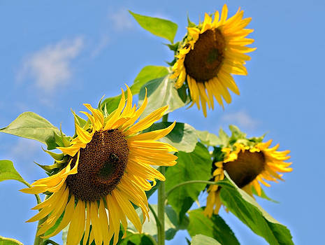 Sunflowers on Blue by Susan Leggett